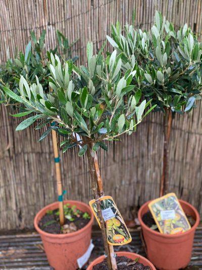 little olive tree 2021