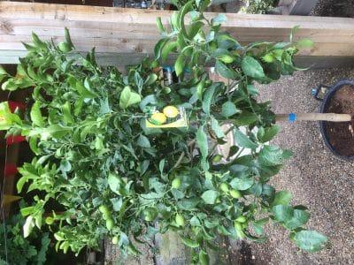 Large Lemon Tree Close Up 2