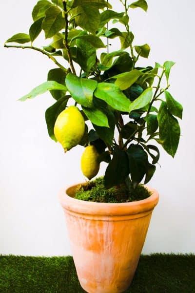 Lemon Tree potted in Terracotta Pot