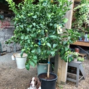 Large Lemon Tree Buy Online for London Delivery