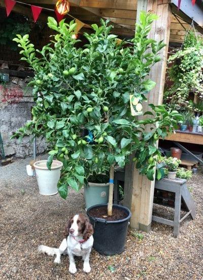 Large Lemon Tree Buy Online for London Delivery