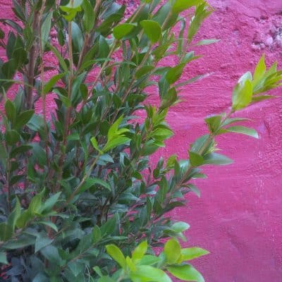 Mytle Evergreen shrub from Battersea Flower Station