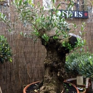 Really really old olive tree £690