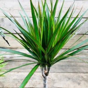 Dracena Dragon Tree House Plants London