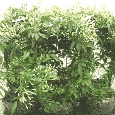 Flowering Jasmine on Hoop