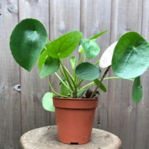 Pilea Indoor Plant