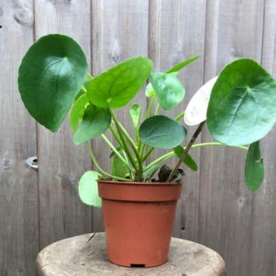 Pilea Indoor Plant