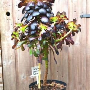 Aeonium Indoor Plant