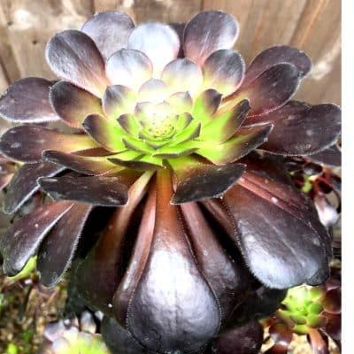Aeonium House Plant Succulent