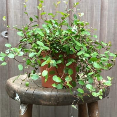 Creeping Wire Vine House Plant Trailing