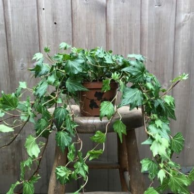Ivy Trailing House Plant Or Outdoor Plant
