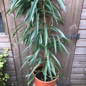 Long Leafed Fig Ficus Alii