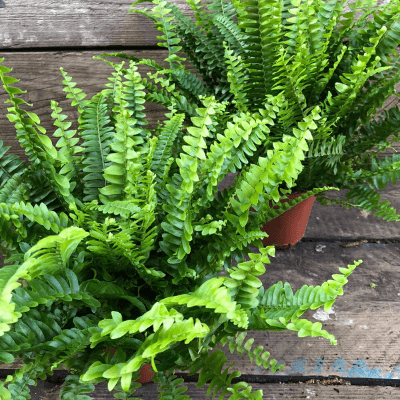 boston fern 2