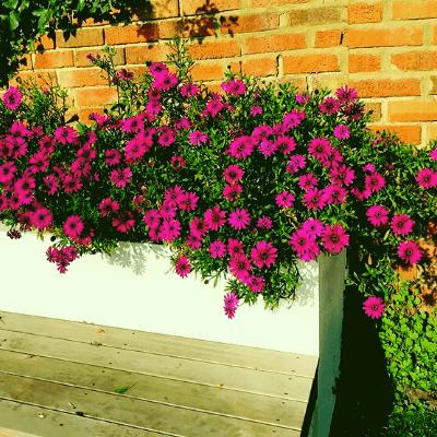 cape daisy purple 2