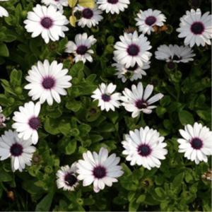 cape daisy white 1