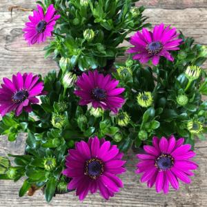 cape daisy purple 1