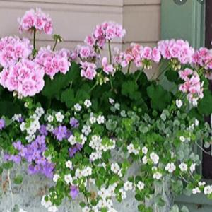 pink geranium bacopa