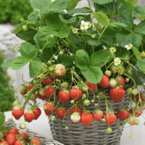 strawberry 3