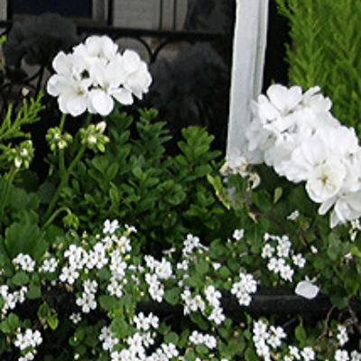 white geranium bacopa