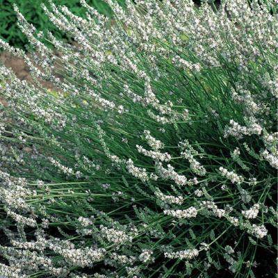 white lavender1