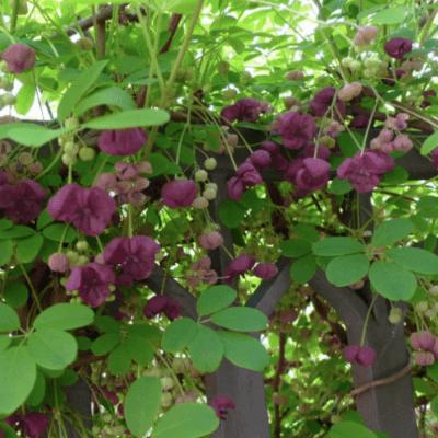 chocolate vine