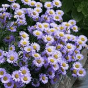 erigeron purple