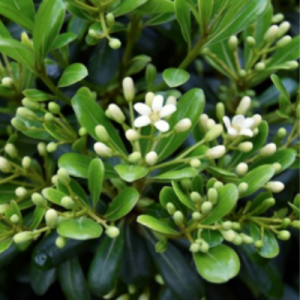 pittisporum