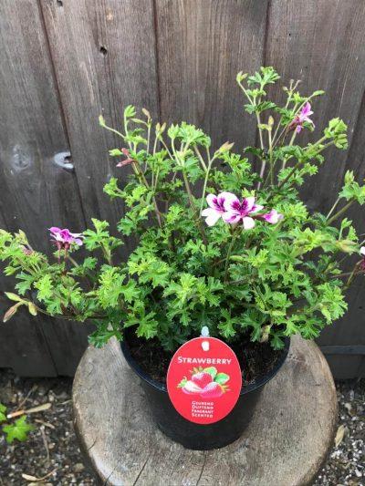 strawberry scented geranium