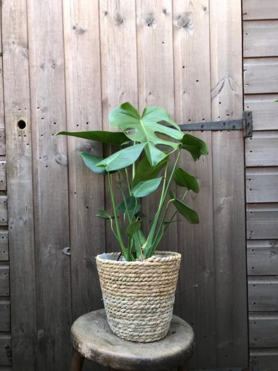 swiss cheese plant in basket