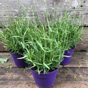 white lavender 9