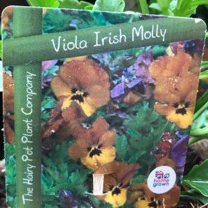 viola irish molly close up