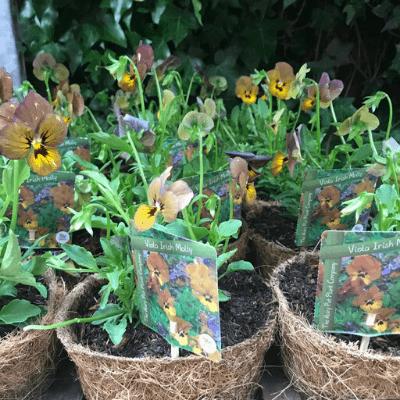 viola irish molly
