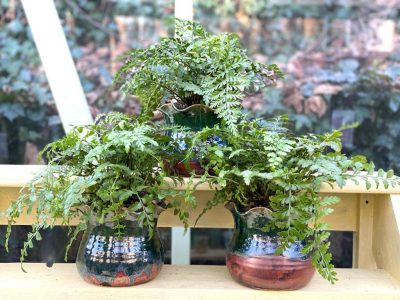 Indoor Fern House Plant