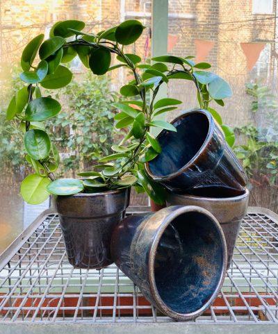 stephanotis hoop in blue pot