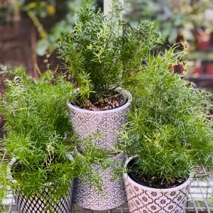 Asparagus Fern in Black Patterned Pot