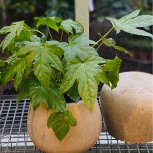fatsia in stone round pot
