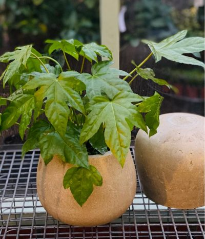 fatsia in stone round pot
