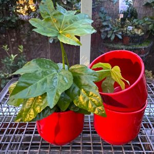 Fatsia in Red Pot