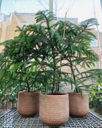 Norfolk Island Palm