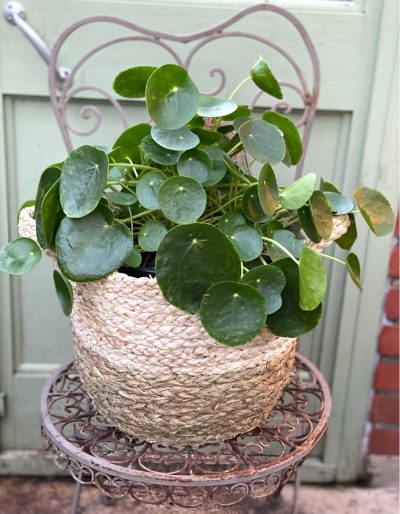 Large Chinese Money Plant in Basket
