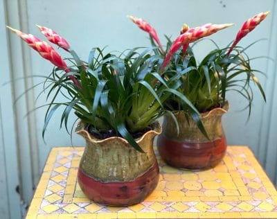 Bromeliad in Frilly Pot