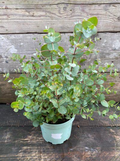 eucalyptus cider-gum-17