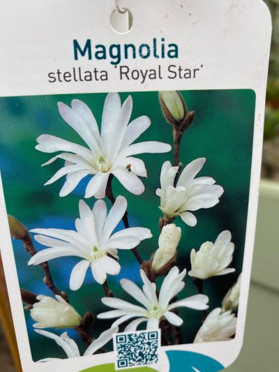 magnolia royal star