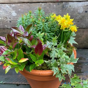 seasonal planted pot spring colour daffodils