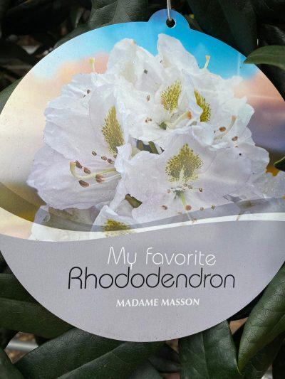 white rhododendron madam masson